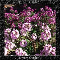 Alyssum Violeta Flor De Mel Sementes Flor Para Mudas