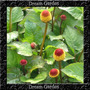 Jambu Spilanthes Oleracea Ervas Sementes Flor Pra Mudas