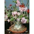 Sementes Rosa Do Deserto Adenium Arabicum Mix De Cores
