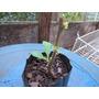 Fruta Do Sabiá (acnistus Arborescens) - 06 Estacas F.grátis