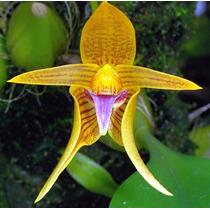 Orquídeas 5 Sementes - Bulbophyllum + Frete Grátis
