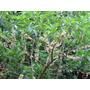 Fruta Do Sabiá (acnistus Arborescens) - 05 Estacas Sadias
