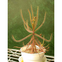 Plantas Carnívoras - Drosera Hartmeyerorum - Sementes
