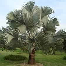 Preço palmeira azul