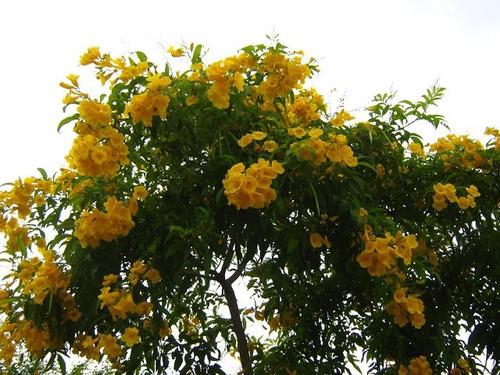 kobold o anao de jardim : kobold o anao de jardim:Sementes Ipêzinho Ipê Mirim Anão De Jardim Flor Mudas Vaso – R$ 6