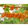 100 Sementes De Fruta Do Sabiá Marianeira Frete Grátis