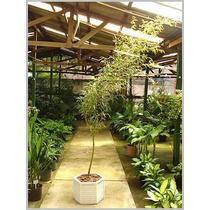 5 Sementes De Bambu Mosso Phyllostachys Frete Gratis