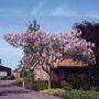 100 Sementes De Paulownia Tomentosa - Princess Tree - Kiri