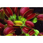 Planta Carnívora 10 Sementes, Rosa Jardim Planta Rara