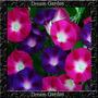 Trepadeira Ipomoea Purpurea Ipomeia Sementes Flor Pra Mudas