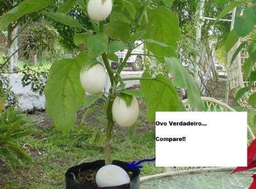 plantas de jardim lista:Sementes Raras, Planta De Ovos – Jardim Mudas Ornamentais – R$ 15,00