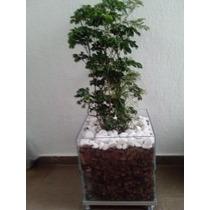 Árvore Da Felicidade No Cachepot De Vidro 40x40x40cm