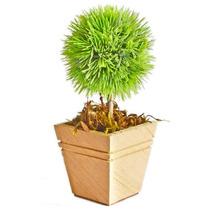 Arranjo Floral - Ouriço Verde Em Vaso De Madeira Bege