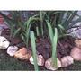 Casca De Pinus - 500 G - Para Decoração De Vasos E Jardins