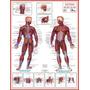 Escolha 3 Mapas 90 X 120 Cm Muscular Esquelético Mundi