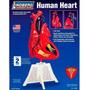 Coração Humano Tamanho Natural Pesquisa Faculdade Ensino