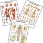 03 Mapas 60cmx80cm Anatomia Esqueleto Músculos Linfático