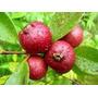Araça Vermelho Araça Goiaba Sementes Frutas Para Mudas