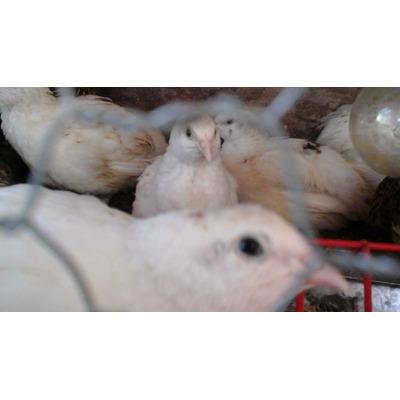 Ovos Galados De Codornas Gigantes (codornão)branco em Santana do Paraíso