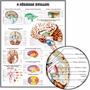 Poster Hd Anatomia Cérebro 60x80cm Para Decorar Casa