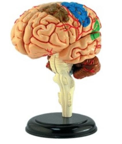 Anatomia Do Corpo Humano - Cérebro  4d Master Med