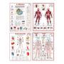Mapa Corpo Humano Muscular Circulatório Esquelético